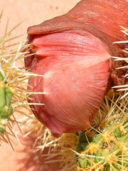 Cactus on cock